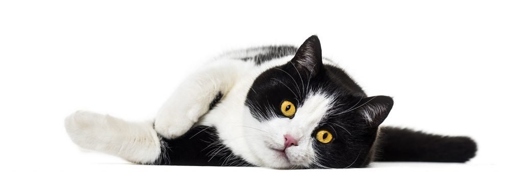 Mixed Breed Cat | Purrfections Cattery