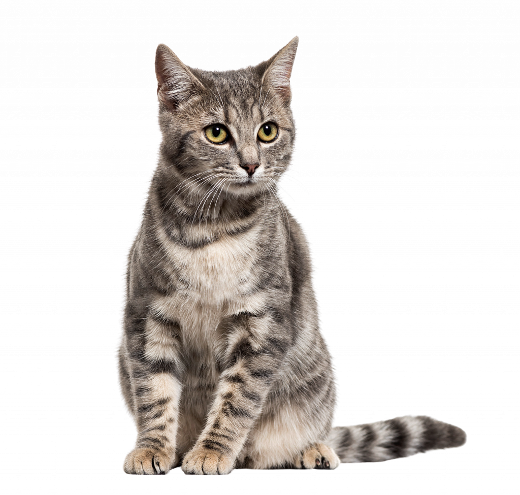 Grey Cat | Purrfections Cattery